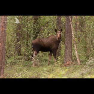 Female moose in woodland