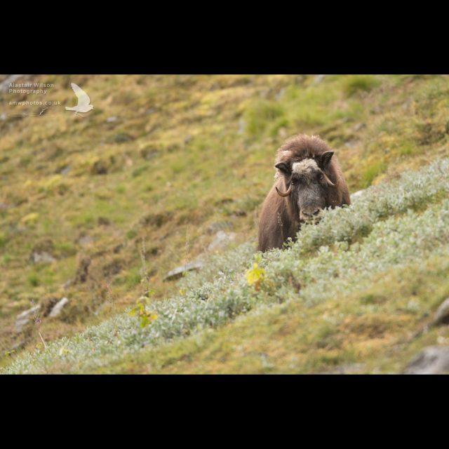 Female muskox on lookout in Norway