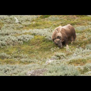 Male muskox scraping the ground with his horns