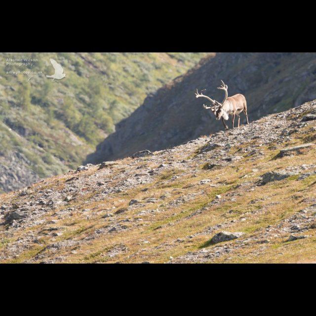 Big buck Reindeer walking in the hills