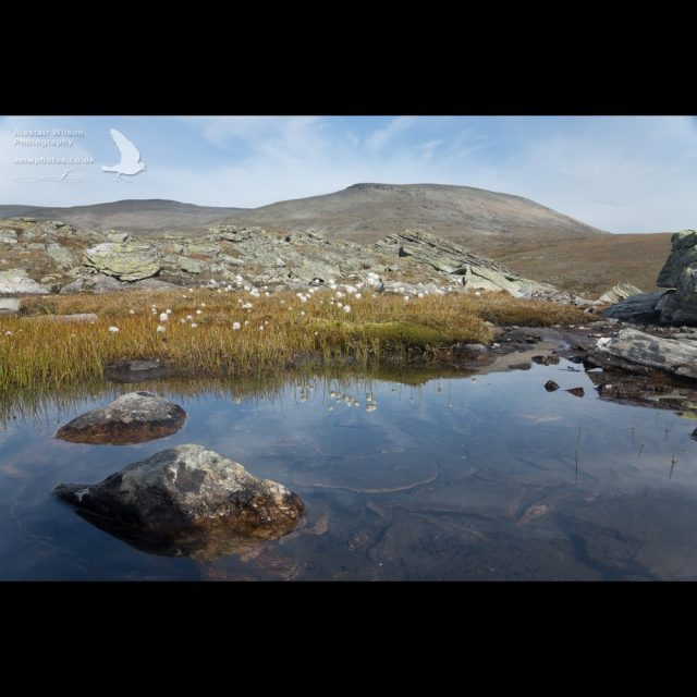 Cottongrass in a mountain pool