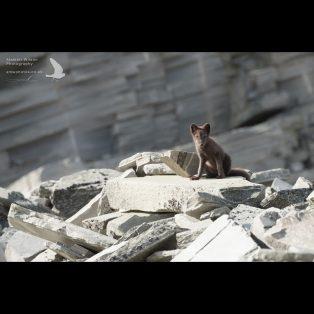 Arctic Fox bouldering