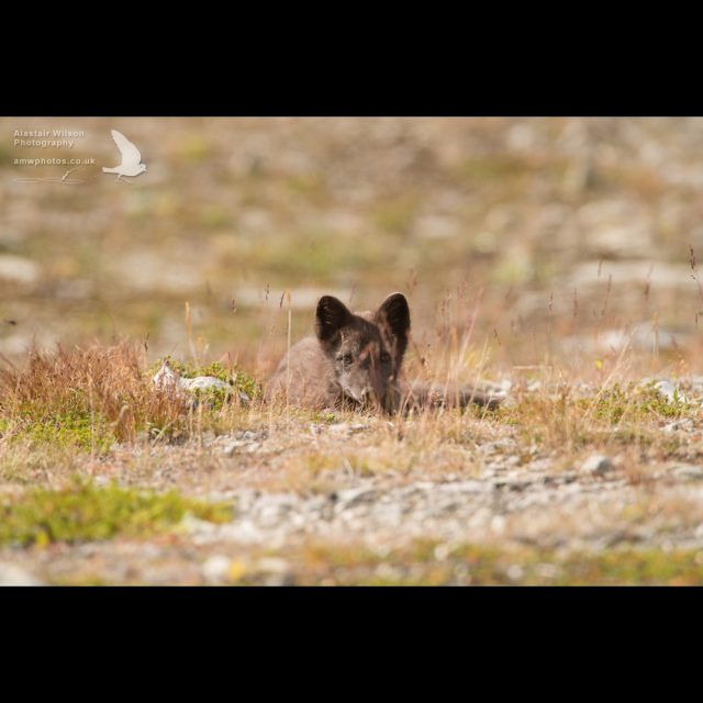 Arctic fox watching in the grass
