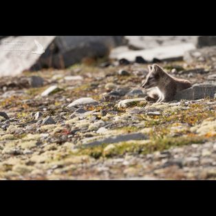 Arctic fox resting and watching