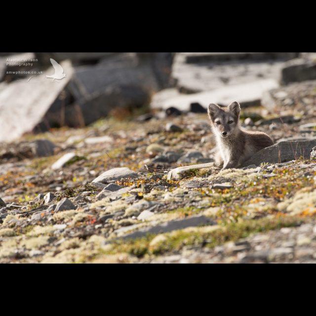 Arctic Fox keeps a beady eye
