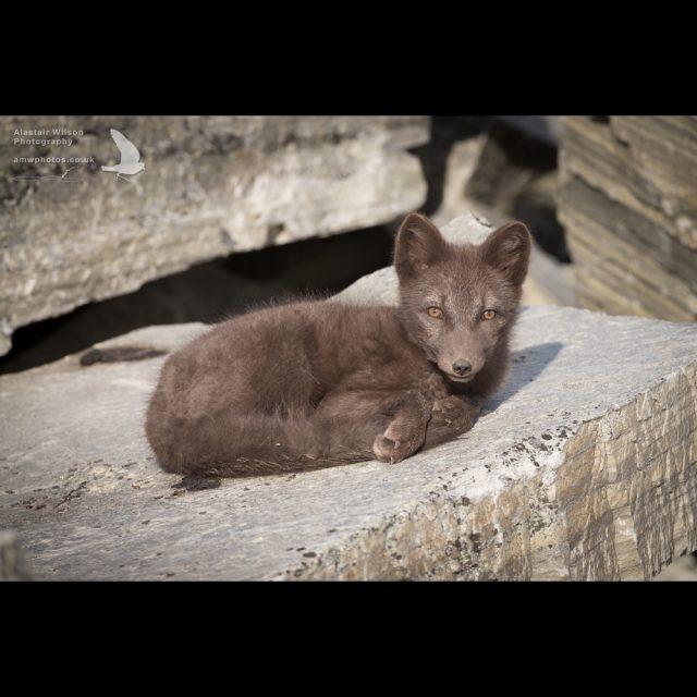Arctic fox curled up resting