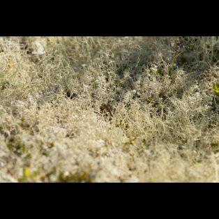 Lichen carpet