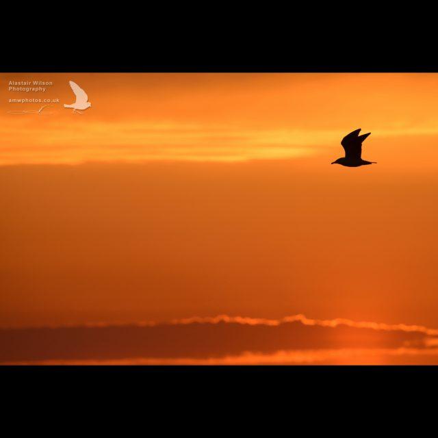 A gull flies across a golden evening sky on Skomer Island