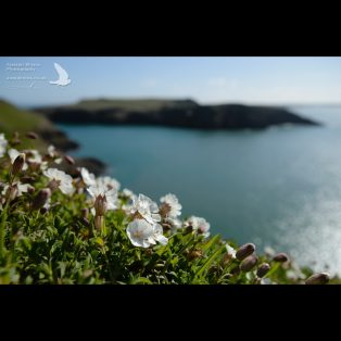 Sea Campion flowering on Skomer in the sun