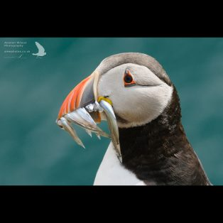 Fishing Puffin