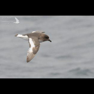 Antarctic Petrel in the Southern Ocean