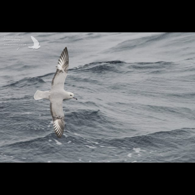 Southern Fulmar in the Southern Ocean