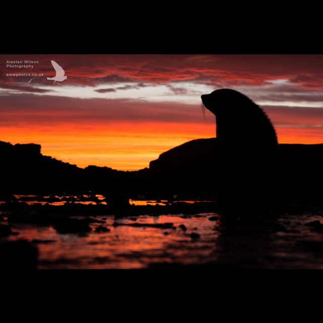 Antarctic Fur Seal silhouetted against the orange sunset sky