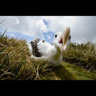 Wandering Albatross investigating the camera