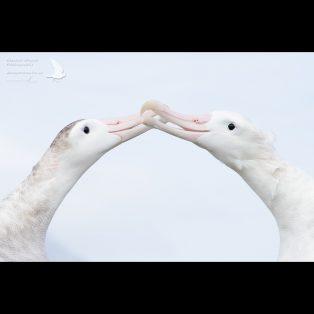 Wandering albatross pair