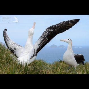 Displaying wandering albatrosses