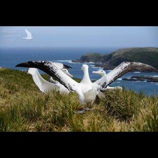 Wandering albatross competitive display