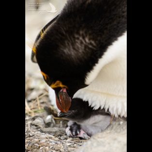 Macaroni Penguin and its chick
