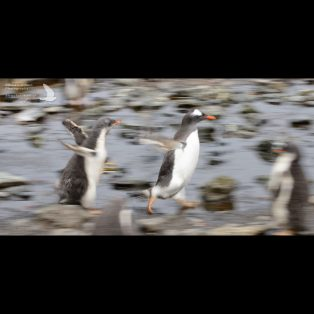 Gentoo Penguin chick chases parent for food