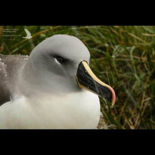Grey Headed Albatross in snow