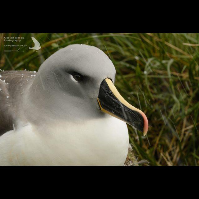 Grey Headed Albatross in snow