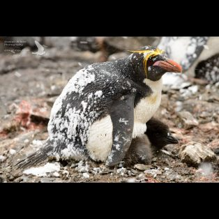 Macaroni Penguin adult sheltering its chick from the snow