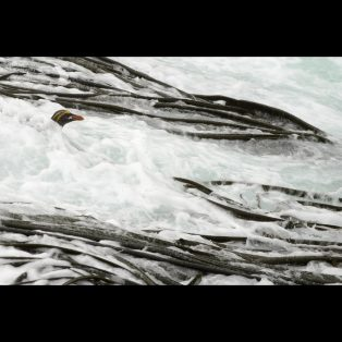 Macaroni Penguin in surf and kelp