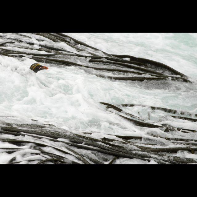 Macaroni Penguin in surf and kelp