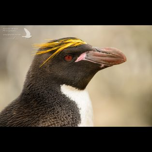 Macaroni Penguin head shot