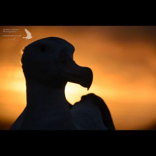 Wandering Albatross head silhouette