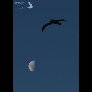 Wandering Albatross flying past the moon