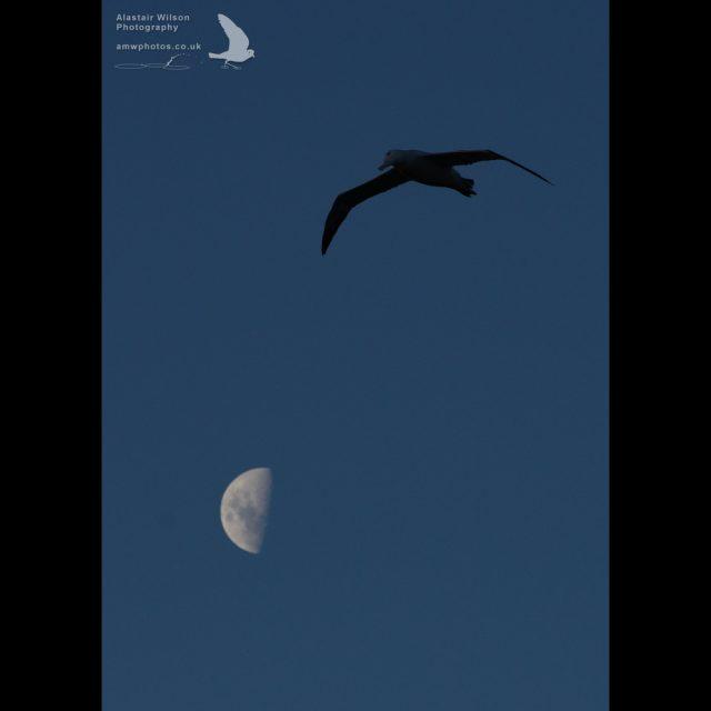 Wandering Albatross flying past the moon