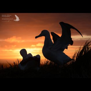 A pair of Wandering Albatross silhouetted by the setting sun