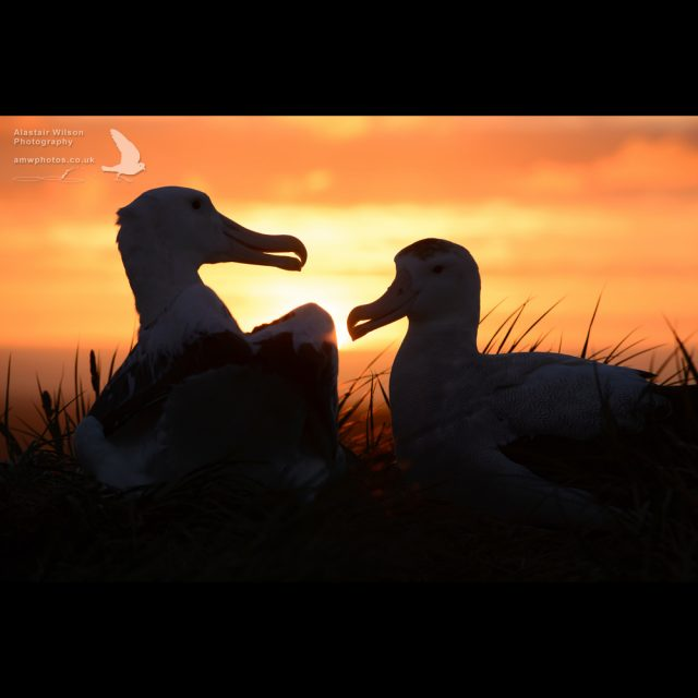 Pair of Wandering Albatross silhouetted by the setting sun