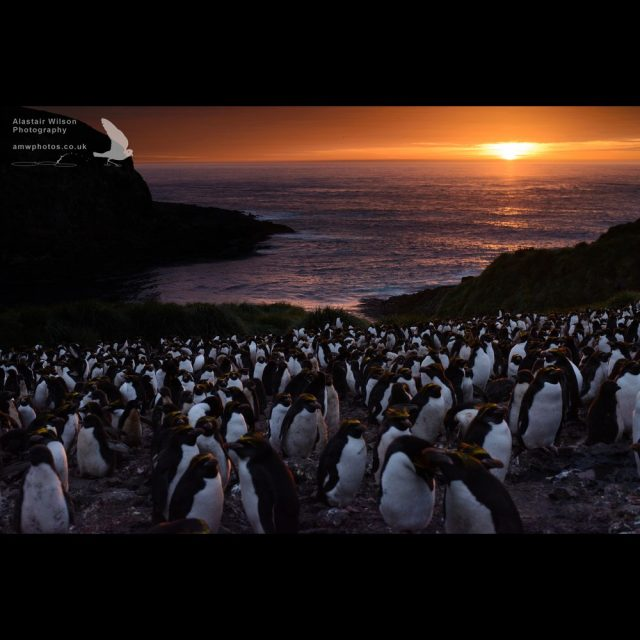 """Little Mac"" Macaroni Penguin colony at sunset"