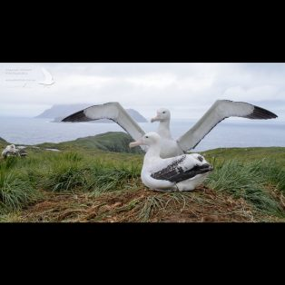 Wandering Albatross displaying to it's partner