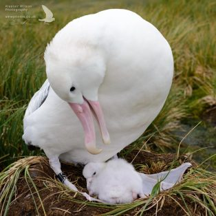 Wandering Albatross and it's new chick