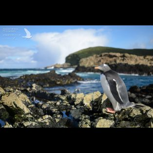 Gentoo penguin on the shore of Bird Island