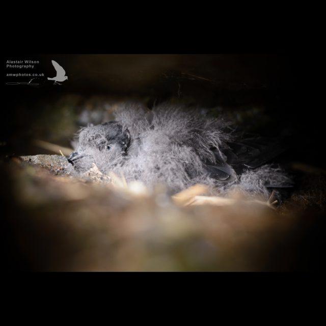 Wilson's storm petrel chick