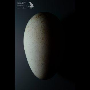 Wandering albatross egg