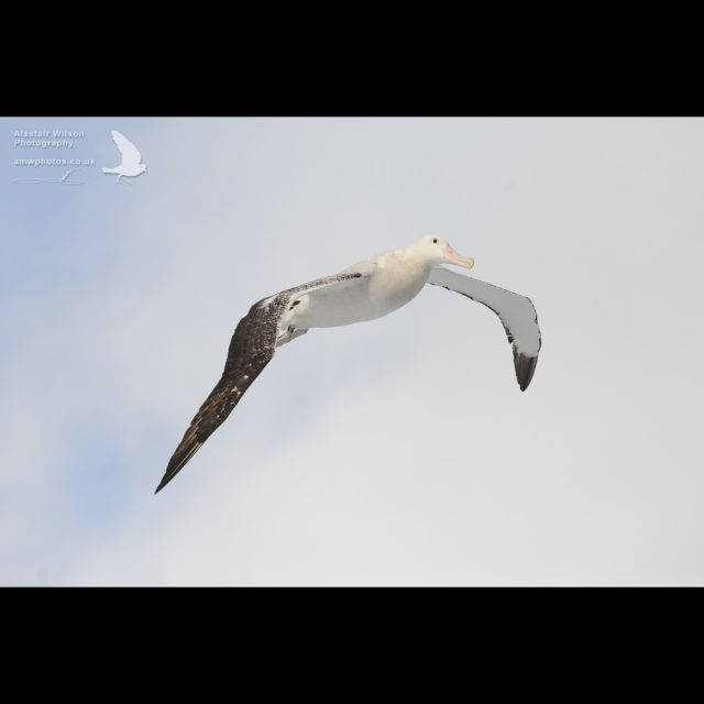 Wandering albatross coming in to land
