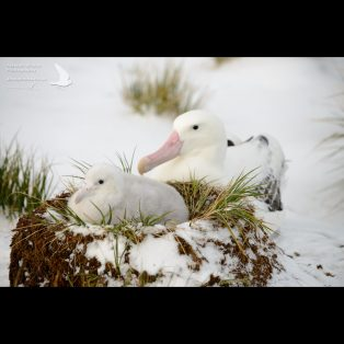 Wandering albatross with it's chick in the snow