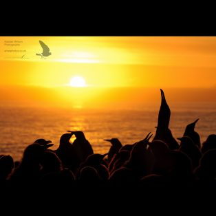 King penguins at sunrise
