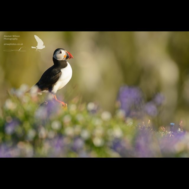 Puffin and bluebells