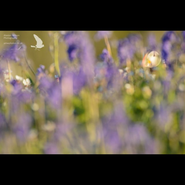 A puffin peeping through the bluebells