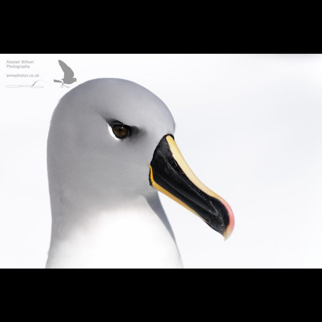 Grey-headed albatross against snow