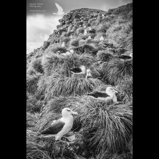Colony of black-browed albatross