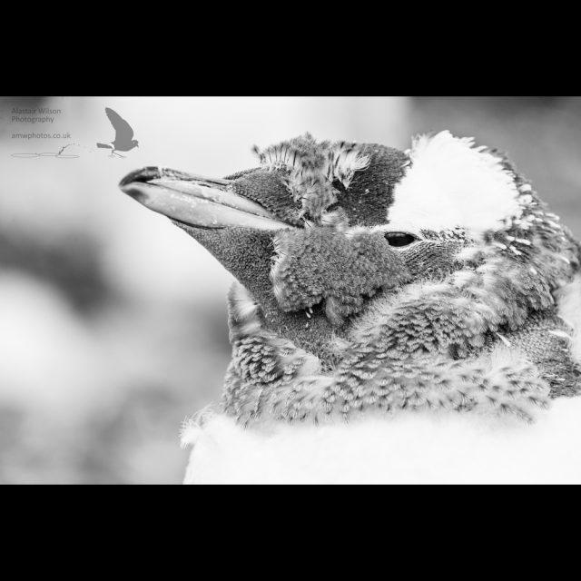 Moulting gentoo penguin